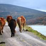 ALSA vaca