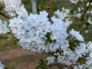 ALSA Cerezos en flor