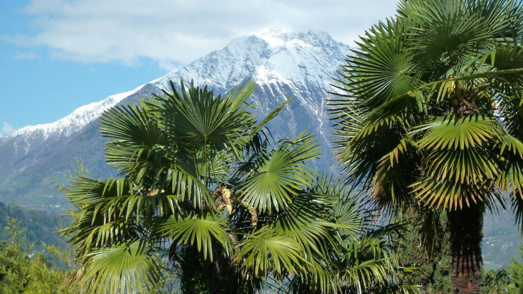 palmeras en la nieve alsa