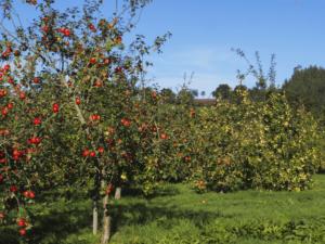 manzanas para hacer sidra