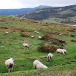 ALSA ovejas