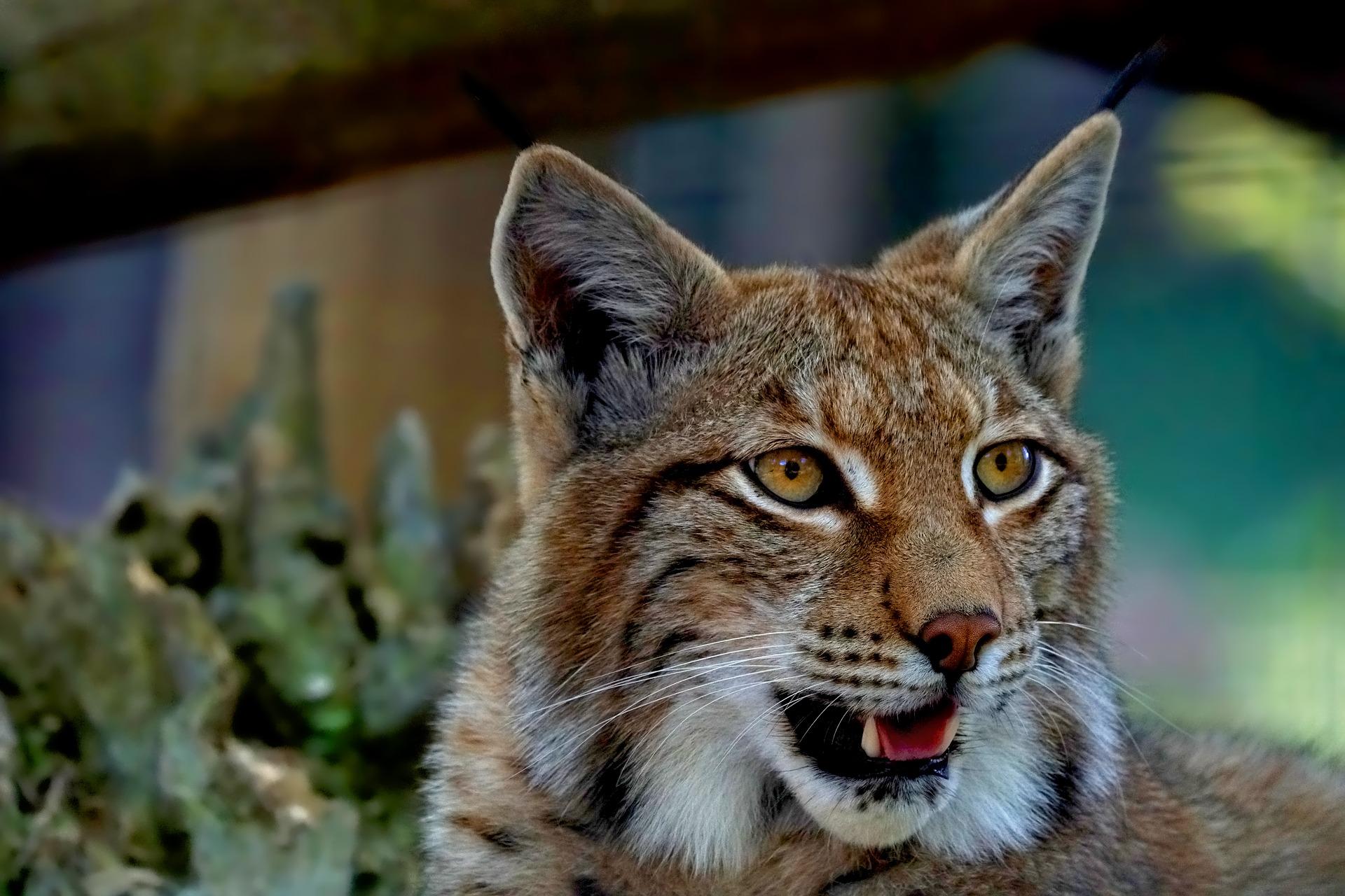 lince iberico zoo guadalajara lugares visitar