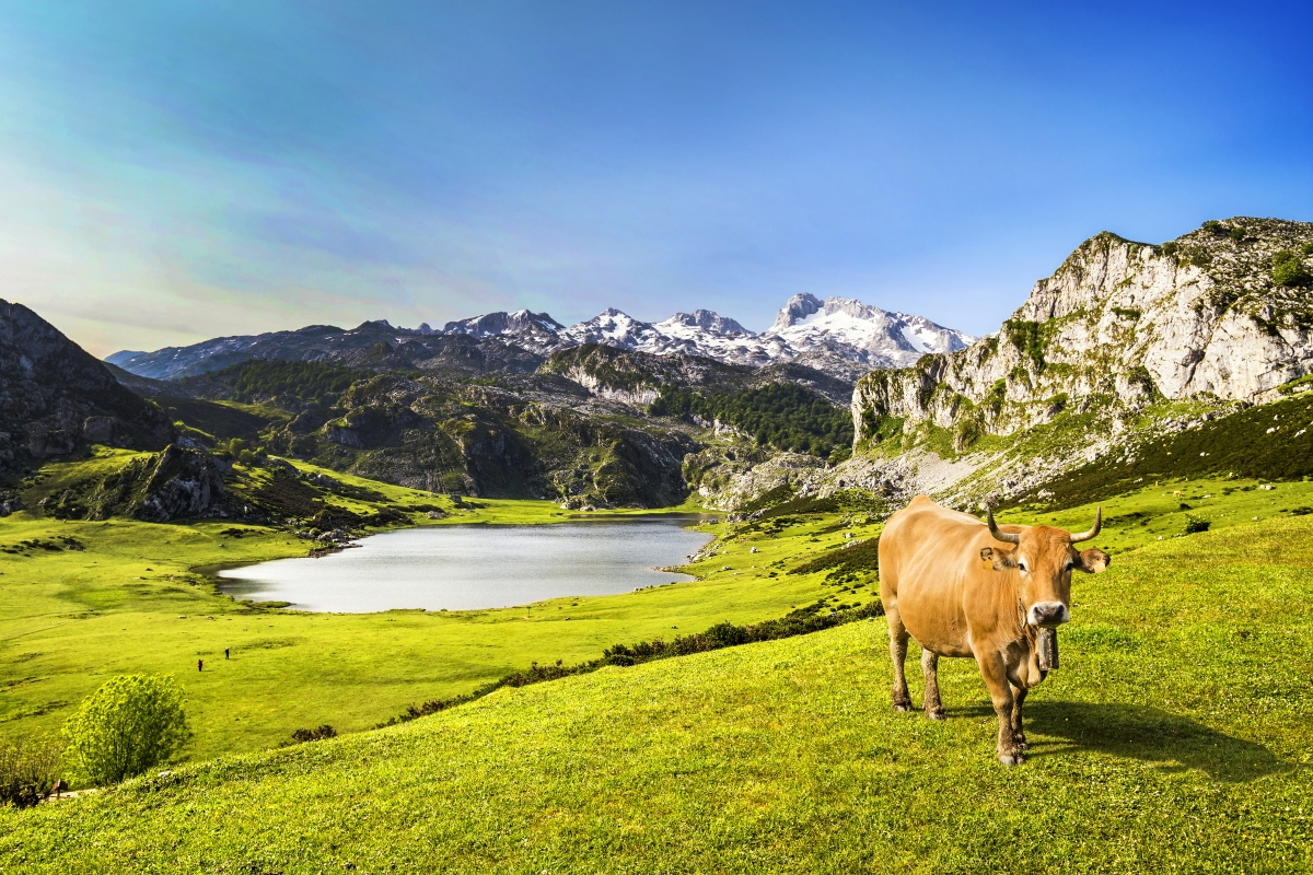 Lagos de Covadonga Alsa vaca Asturias